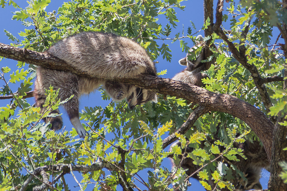 A Raccoon's Nap